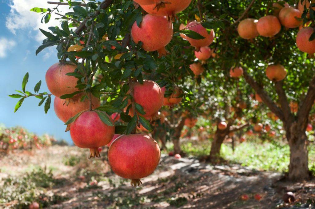 La melagrana è il frutto di Punica granatum.