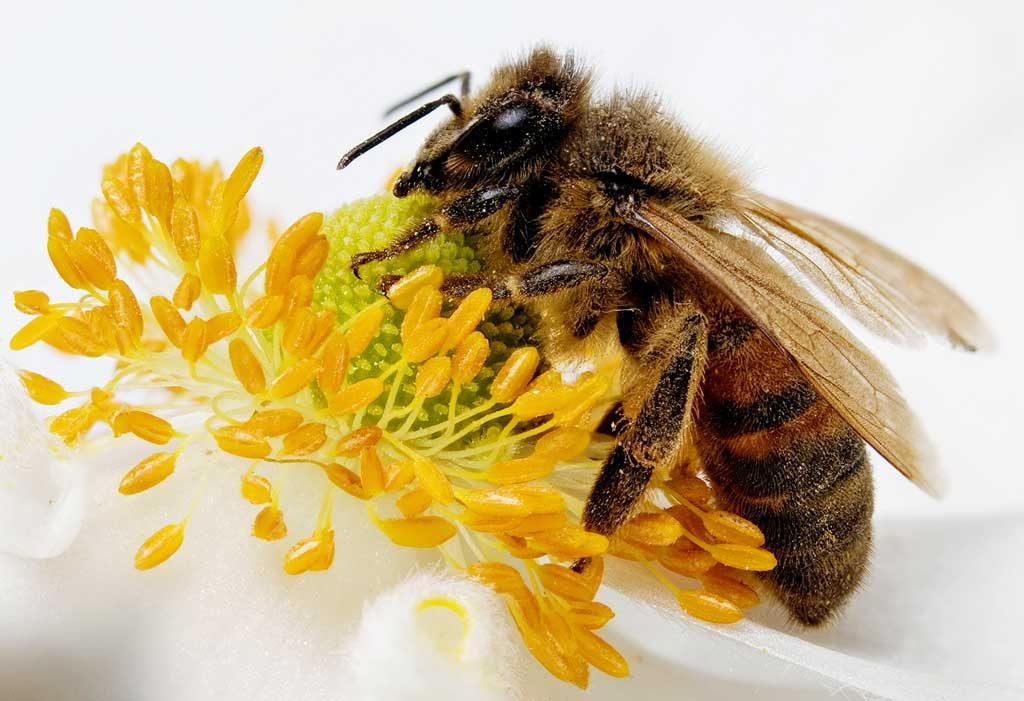 ape-da-miele-sopra-un-fiore-apis-mellifera