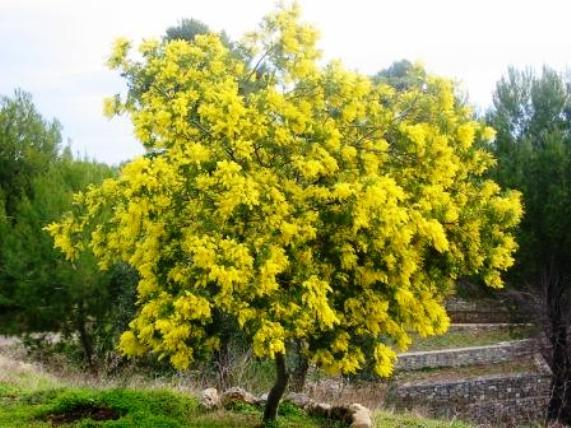acacia-dealbata-albero