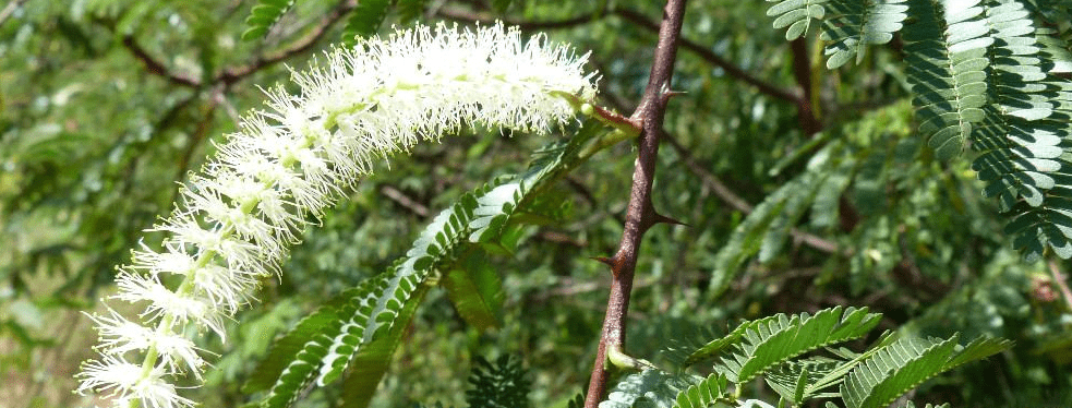 mimosa-tenuiflora-infiorescenza-foglie