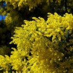 Mimosa: proprietà e benefici dell'albero della pelle
