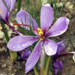 zafferano - dettaglio del fiore