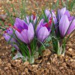 zafferano - fiori che spuntano dal terreno