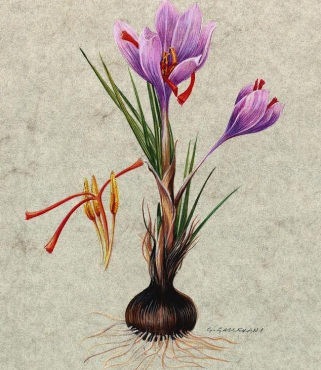 Crocus sativus - stampa botanica
