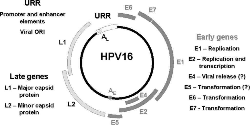 Struttura del DNA di HPV