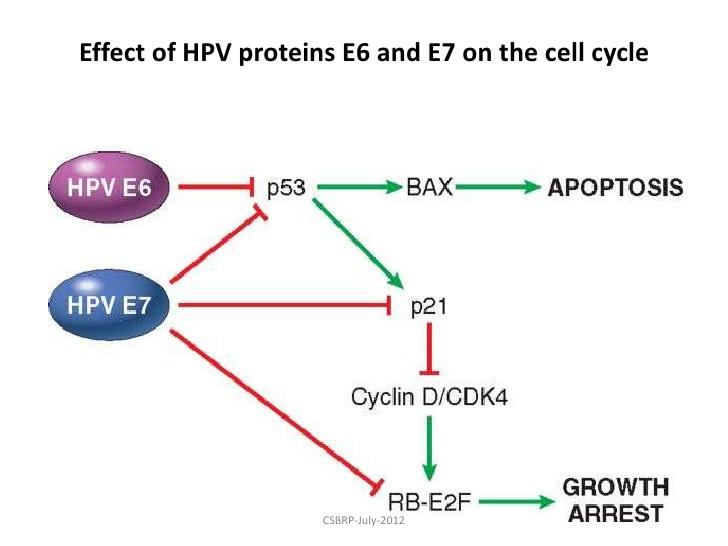 HPV - Robbins & Cotran - Oncogenesi