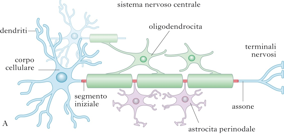 sclerosi multipla struttura fibra nervosa
