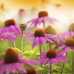 Echinacea: il potenziale immunostimolante naturale