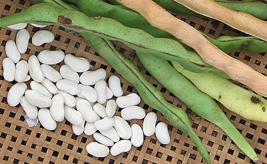 Baccello di fagiolo bianco per dimagrire