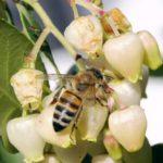 Miele di corbezzolo - ape che bottina il nettare dai fiori di corbezzolo