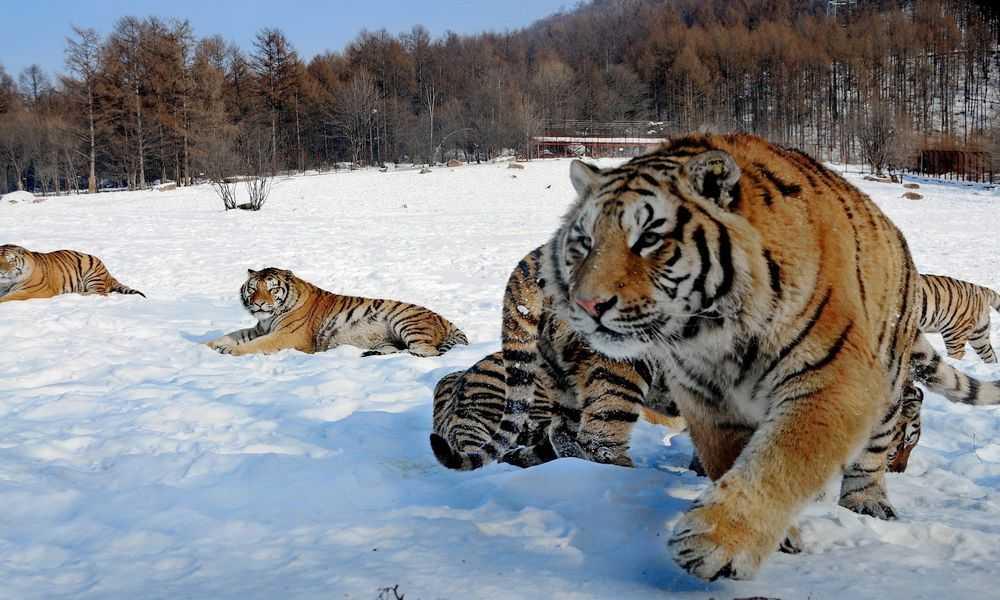 Tigri siberiane nel parco a tema del festival di Harbin