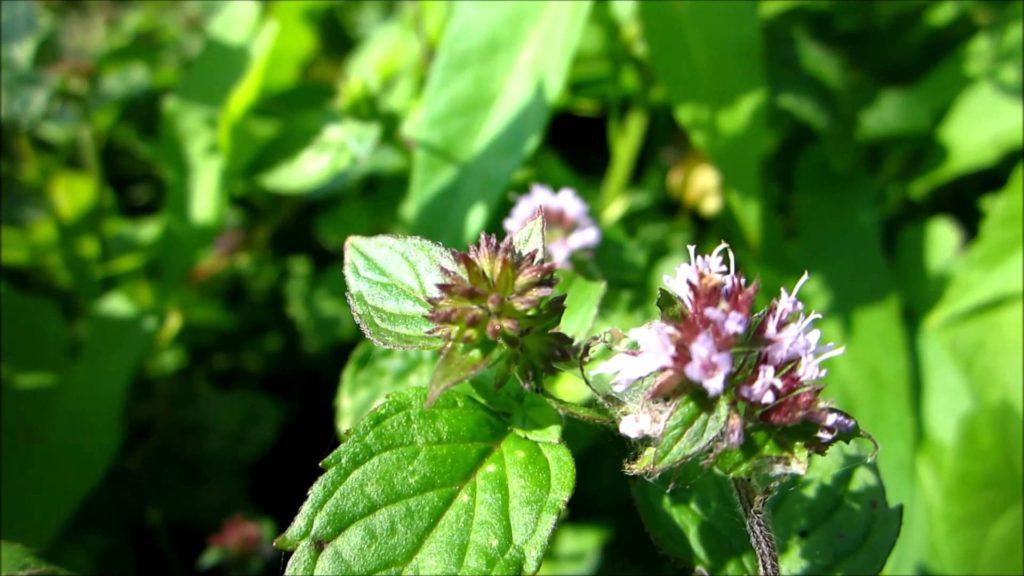 Foglie e fiori di menta piperita, potenziale aiuto contro il colon irritabile