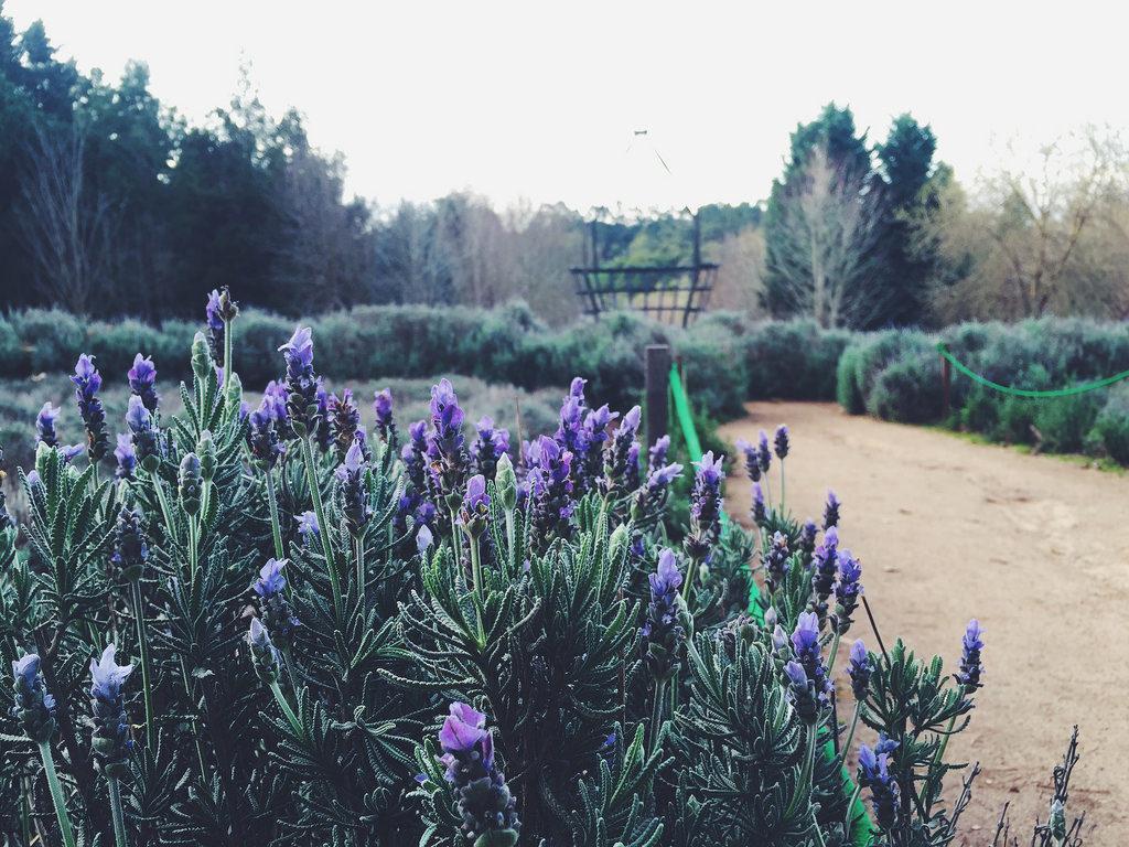 Ashcombe - Labirinto di Lavanda