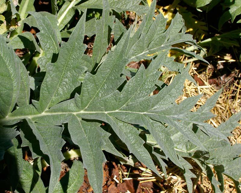 Carciofo - dettaglio delle foglie basali