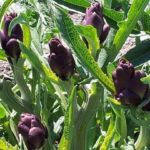 Violetto di Santo Erasmo - dettaglio delle teste di carciofo non ancora raccolte