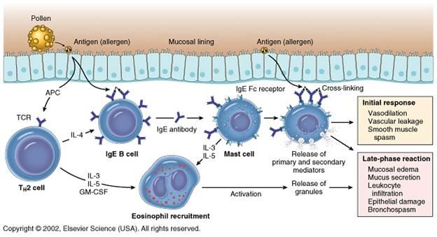 Pollinosi - patogenesi