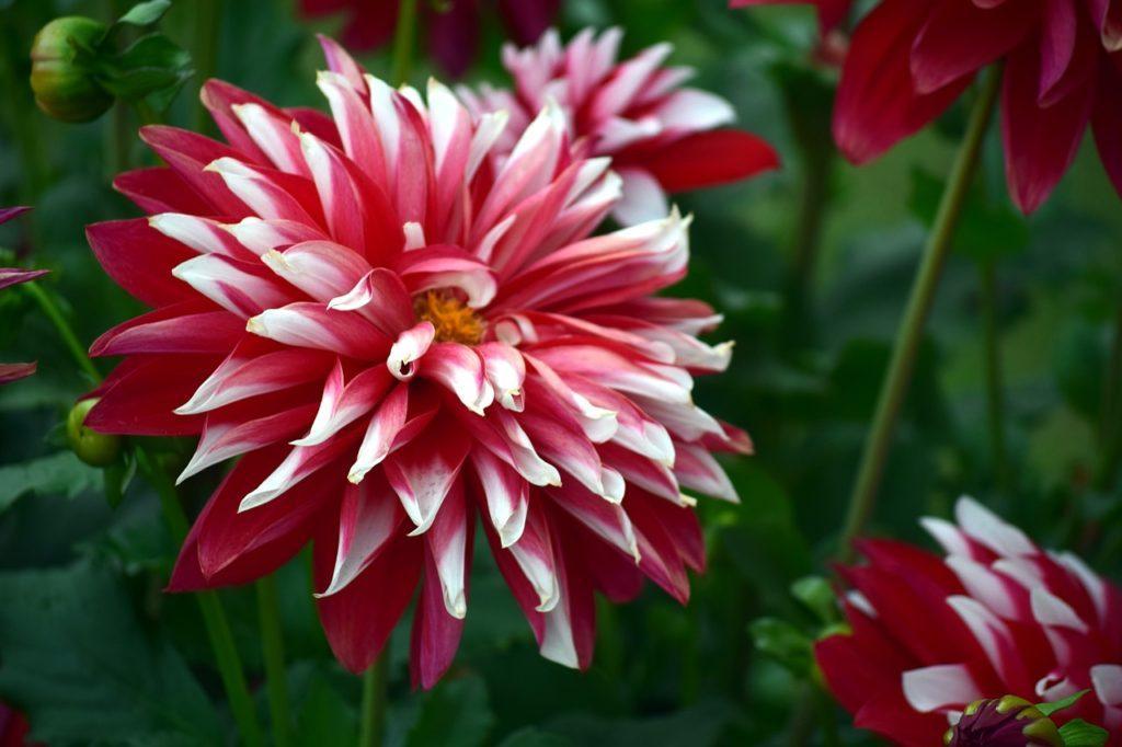 I crisantemi sono fiori in Cina positivi