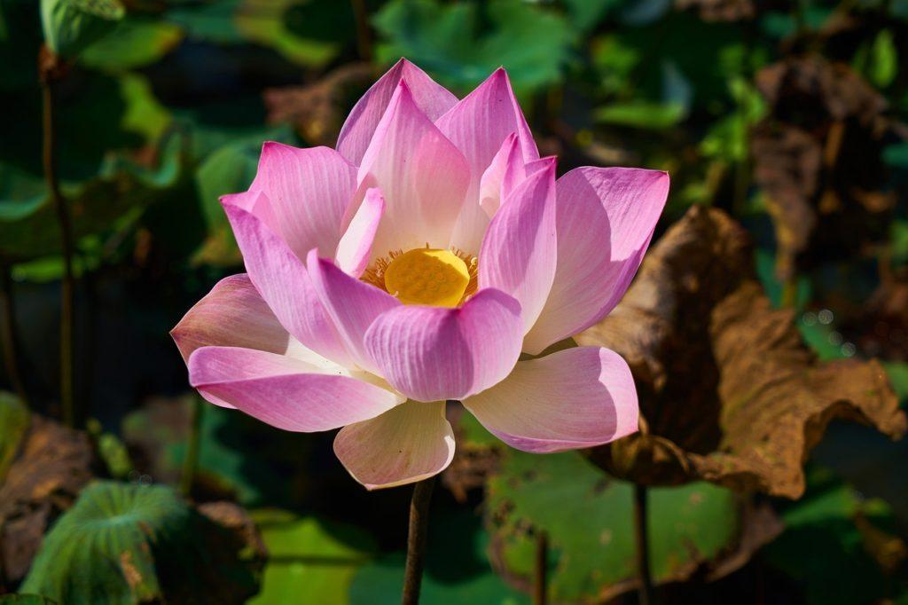 I fior di loto sono uno dei fiori in Cina più caratteristici
