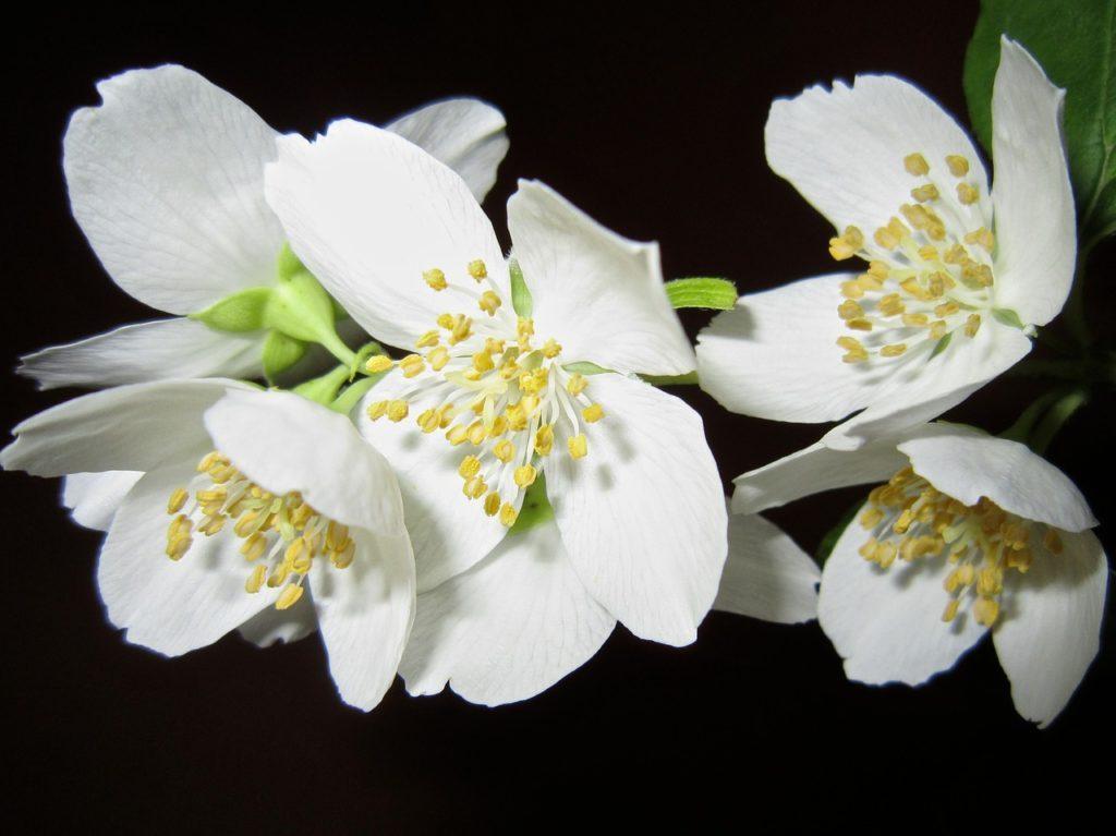 Anche i fiori in Cina vengono banditi, come nel caso dei gelsomini