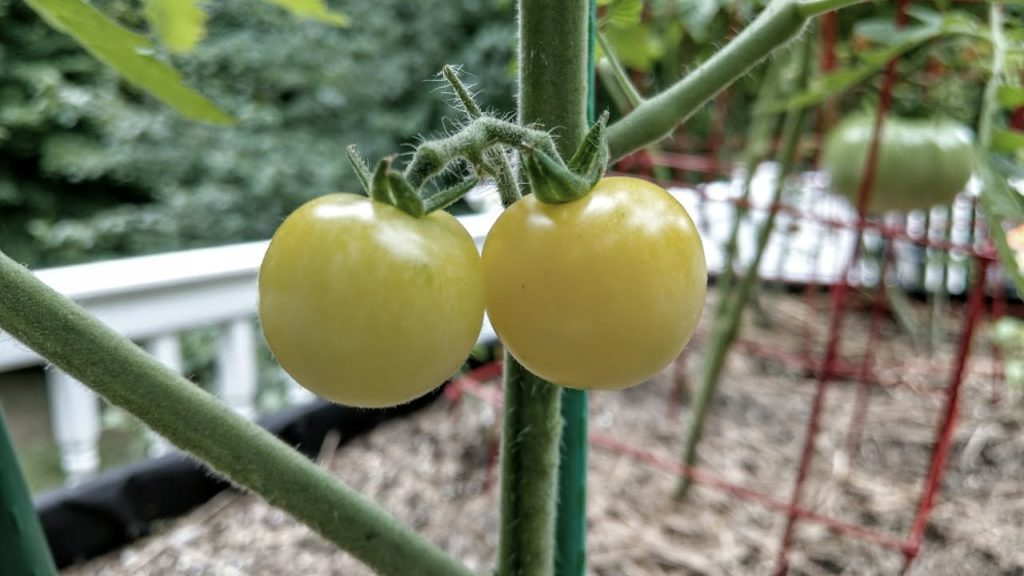 Pomodori ciliegini bianchi.