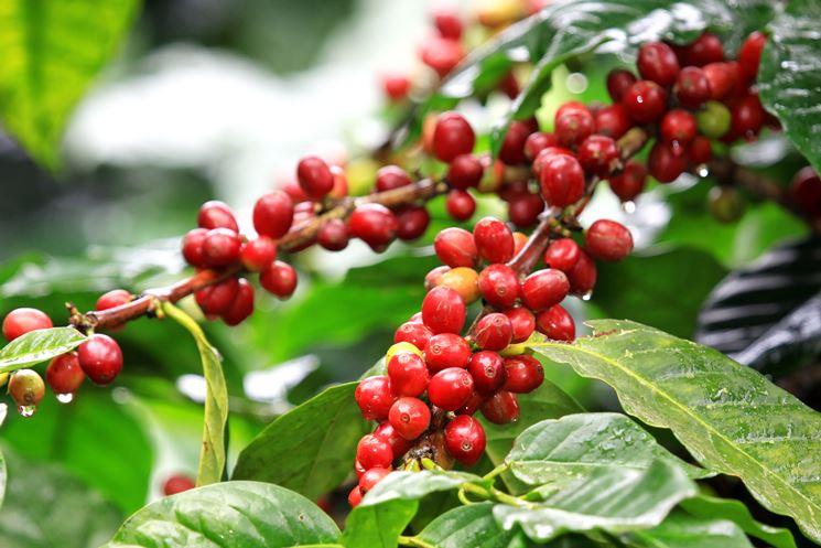 Coffea con ciliegie mature
