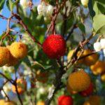 Bacche di corbezzolo: proprietà, benefici e usi culinari