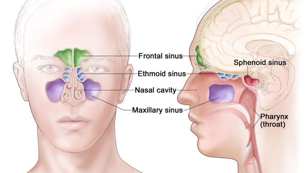 Rinosinusite - Raffigurazione delle cavità nasali e dei seni paranasali, cioè frontali, mascellari, etmoidali e sfenoidali