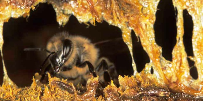 Aape da miele che sigilla l'alveare con la propoli.