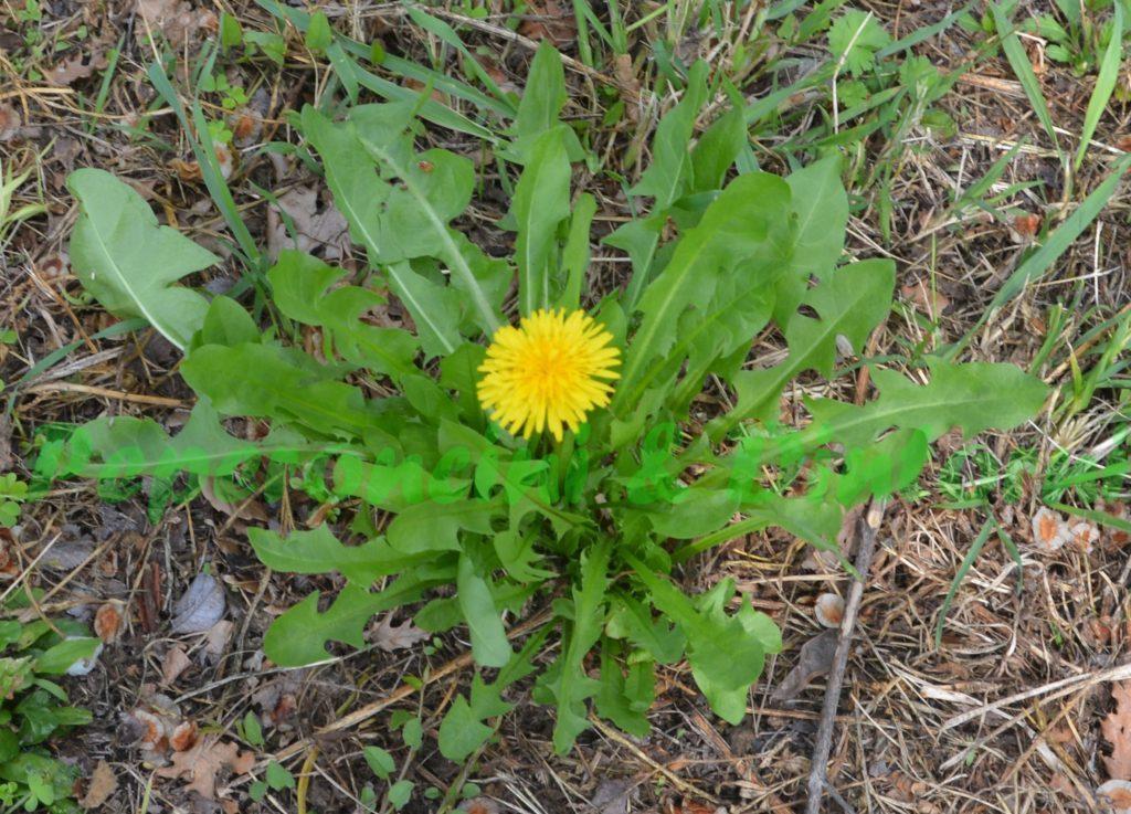 Tarassaco - pianta intera con fiore - le foglie servono per preparare un infuso digestivo