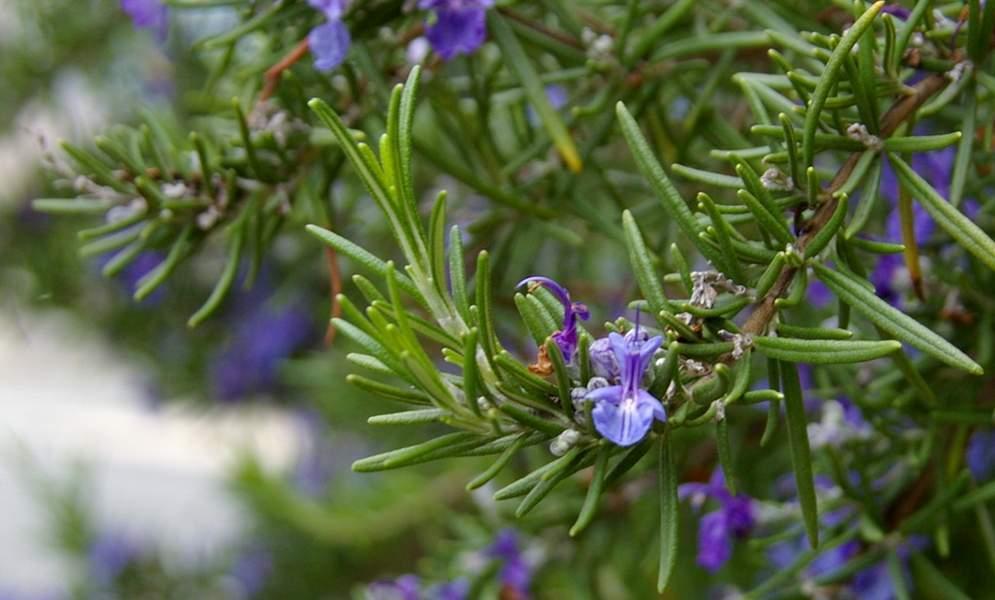rosmarino in fiore - le foglie sono usate per preparare un infuso digestivo