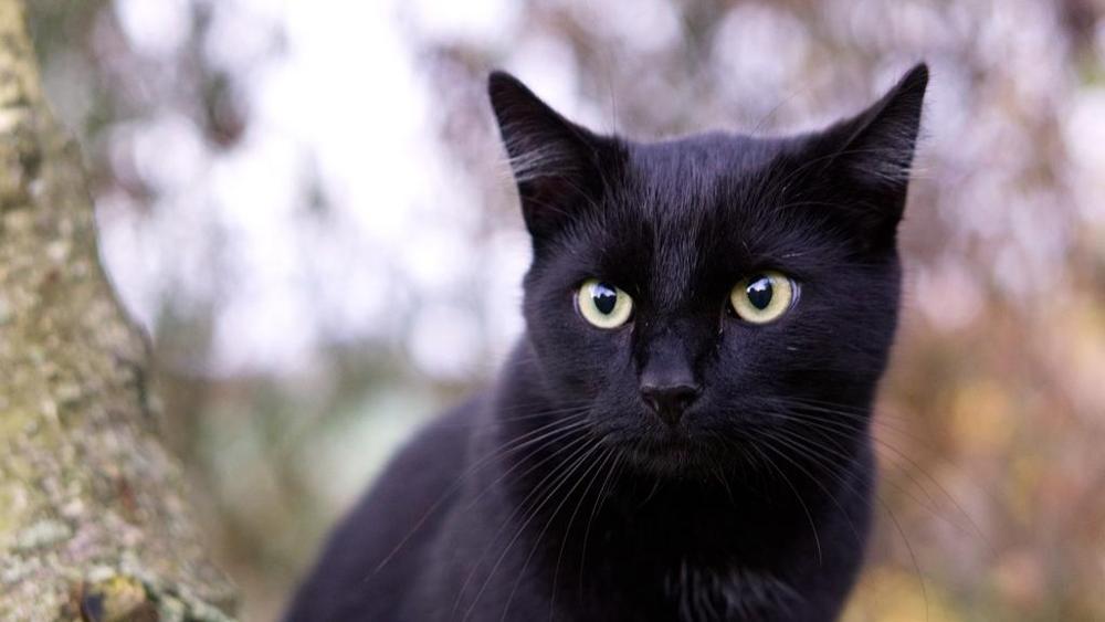 Non è vero ma ci credo - Gatto nero