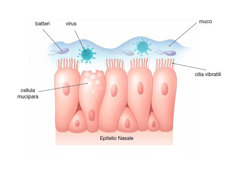 Struttura della mucosa nasale, bersaglio dei virus del raffreddore.