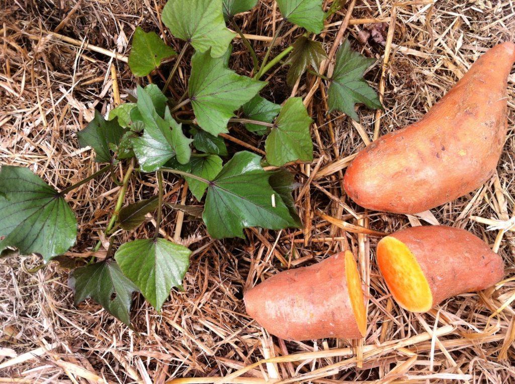 Patata dolce - tuberi di Ipomoea batatas