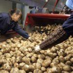 Patate in Cina: la coltivazione del futuro