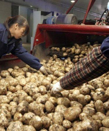 Patate in Cina: la coltivazione del futuro - © NATALIE BEHRING/THE GLOBE AND MAIL