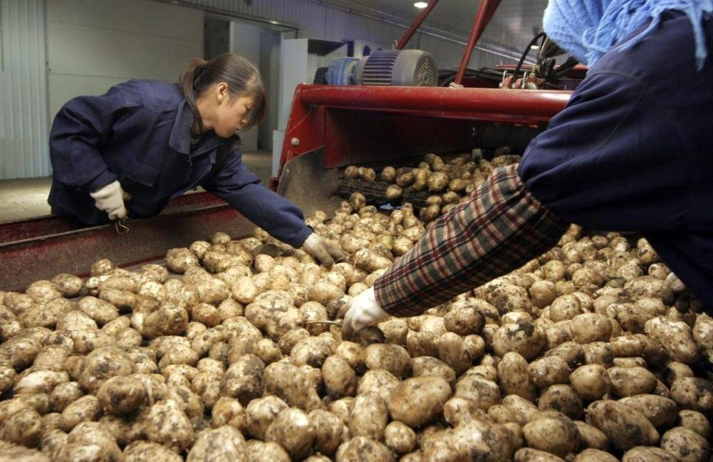Patate in Cina: la coltivazione del futuro - © NATALIE BEHRING/THE GLOBE AND MAIL