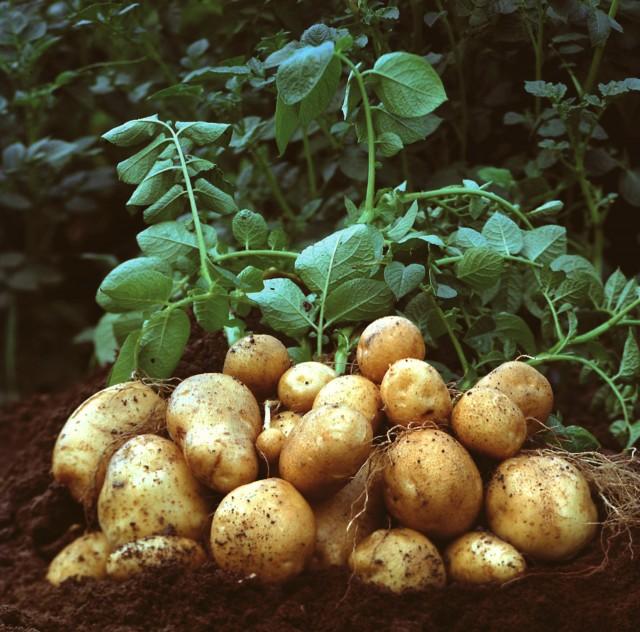 Patate - tuberi di Solanum tuberosum