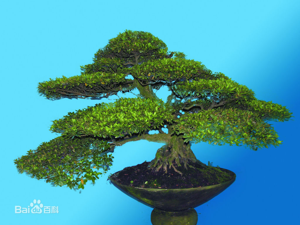 Albero bonsai (树桩盆景)