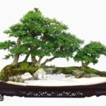 Bonsai: arte giapponese nata in Cina