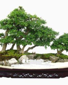 Bonsai - arte giapponese nata in Cina