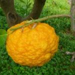Pompìa PAT: proprietà e usi del limone di Sardegna