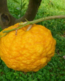 Frutto di pompìa sull'albero