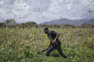 Africa invasa dalle locuste