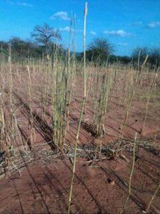 Invasione locuste in Africa