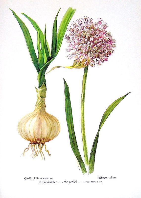 Stampa botanica di Allium sativum