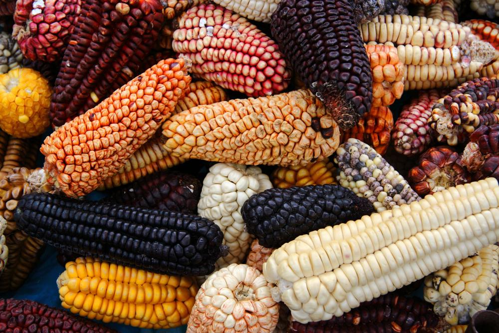 Le varietà multicolor del mais