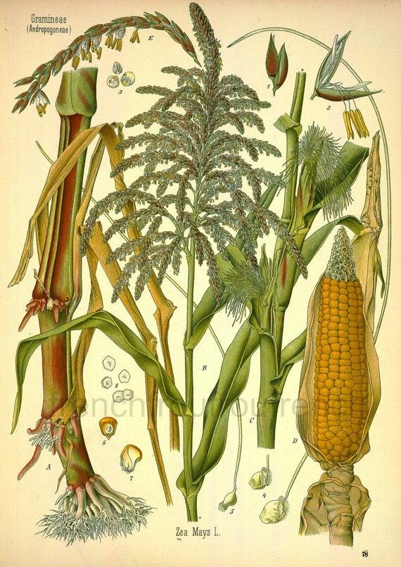Stampa botanica di Zea Mays (Poaceae)