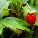 L'erbario: la fragolina di bosco (Fragaria vesca)