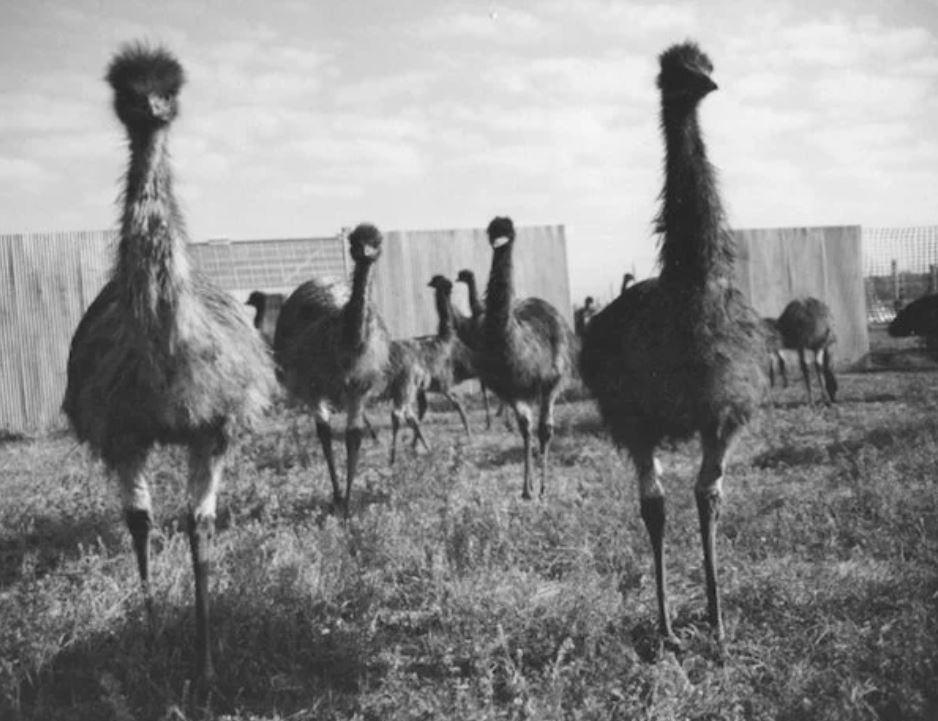Guerra degli emù