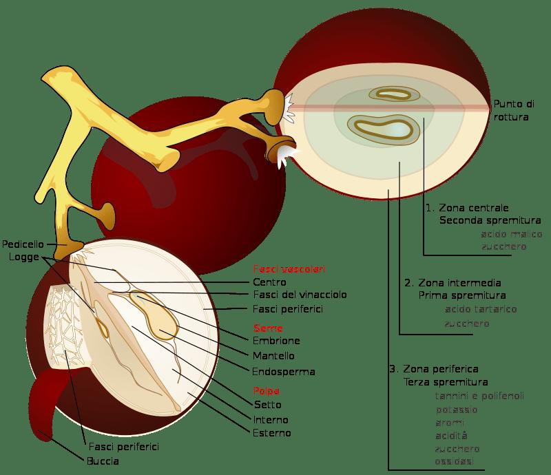 Struttura degli acini di uva.